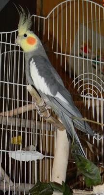 Попугай корелла - корелла.JPG