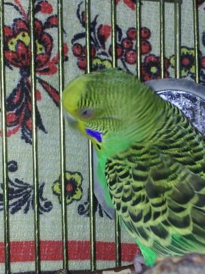 Простуда у волнистого попугая - 20141112_194149.jpg