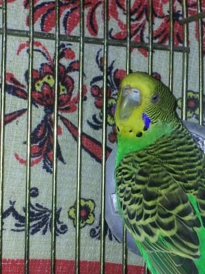 Простуда у волнистого попугая - 20141112_194203.jpg