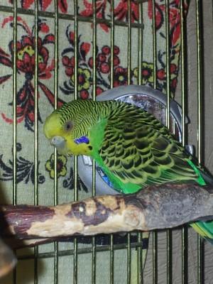Простуда у волнистого попугая - 20141112_194215.jpg