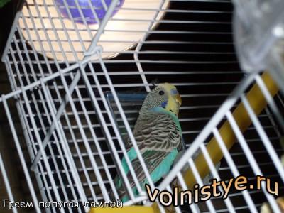 Обогрев попугая под лампой - 1494431.jpg