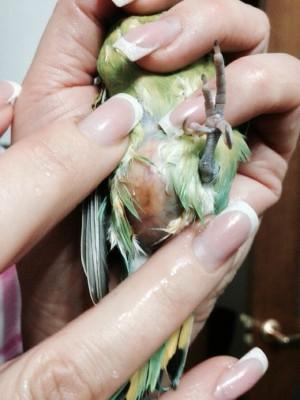 У попугая опухоль внизу живота - тема2.jpg