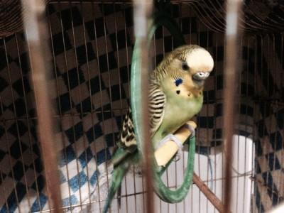 У попугая опухоль внизу живота - тема.jpg