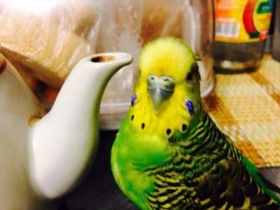 У попугая опухоль внизу живота - тема3.jpg
