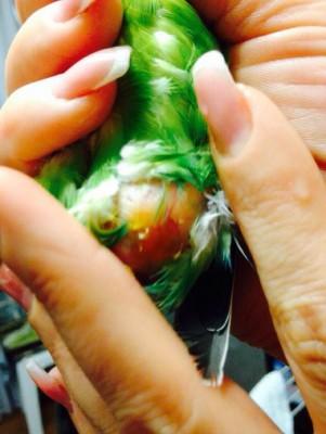 У попугая опухоль внизу живота - 23.jpg
