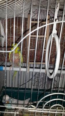 Линяет попугай, потеря оперения - 20141116_213209.jpg