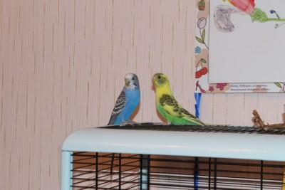 Наши волнистые попугаи - IMG_9053.JPG