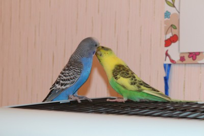 Наши волнистые попугаи - IMG_9054.JPG