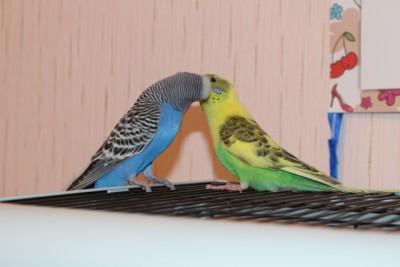 Наши волнистые попугаи - IMG_9056.JPG