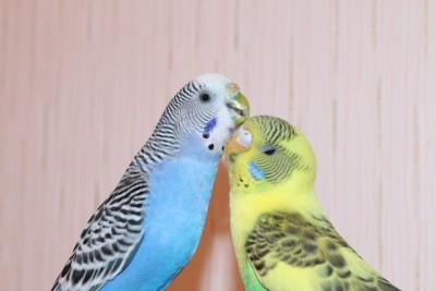 Наши волнистые попугаи - IMG_9059.JPG