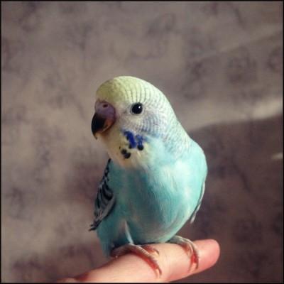 Небесно-голубая ЖЛ опалиновая самка, ДР 22.10.2014. - 87045ac5629b.jpg