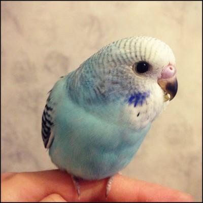 Небесно-голубая опалиновая самка, ДР 25.10.2014. - df8d1e998da2.jpg