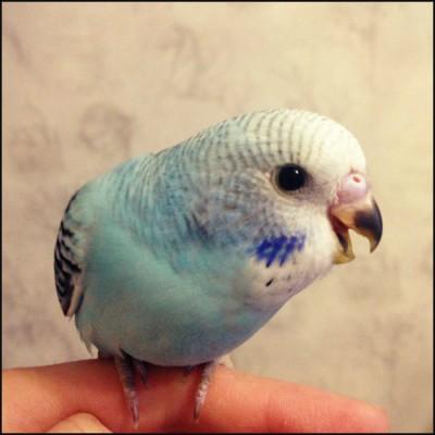 Небесно-голубая опалиновая самка, ДР 25.10.2014. - c5da95128ef6.jpg
