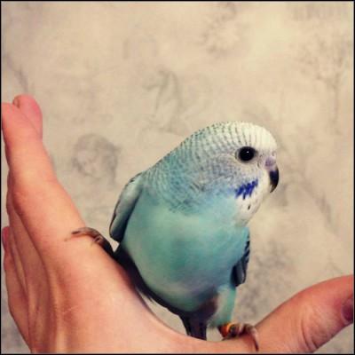 Небесно-голубая опалиновая самка, ДР 25.10.2014. - e2e37992c95f.jpg