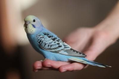 Ручные птенцы волнистого попугая (Москва) - 7de8bbc157ad.jpg
