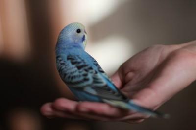 Ручные птенцы волнистого попугая (Москва) - 227fa5e68184.jpg
