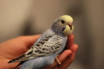 Ручные птенцы волнистого попугая (Москва) - 1835eb20d327.jpg
