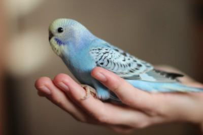 Ручные птенцы волнистого попугая (Москва) - 311824886b89.jpg