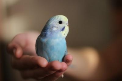 Ручные птенцы волнистого попугая (Москва) - de7686463e69.jpg