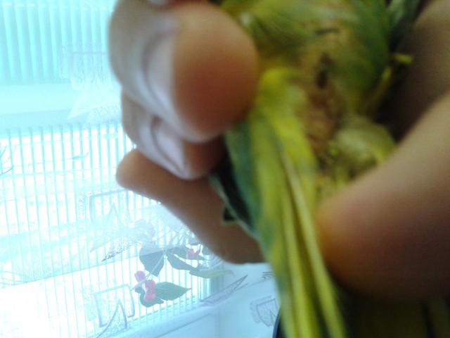 Запор у попугая - 20141218_101106.jpg