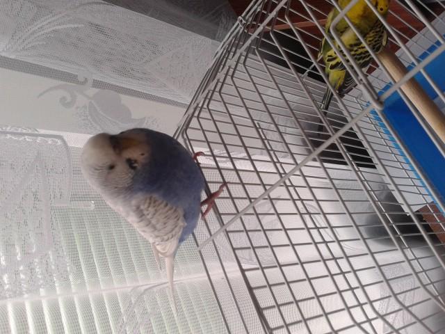 Это первый попугай. Она здорова. Та что заболела в клетке. - 20141208_130033.jpg