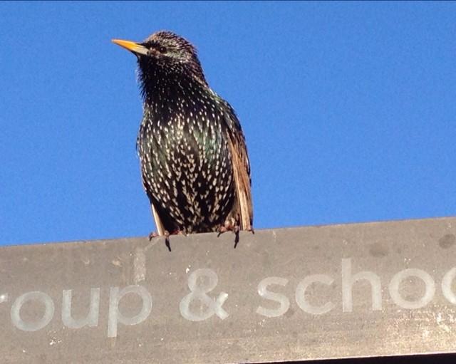 Starling - image.jpg