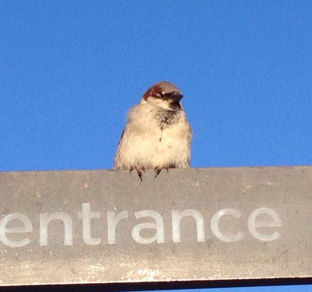 Sparrow - image.jpg