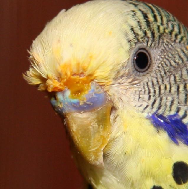 У попугая что то оранжевое над роговицей? - IMG_6265a.jpg