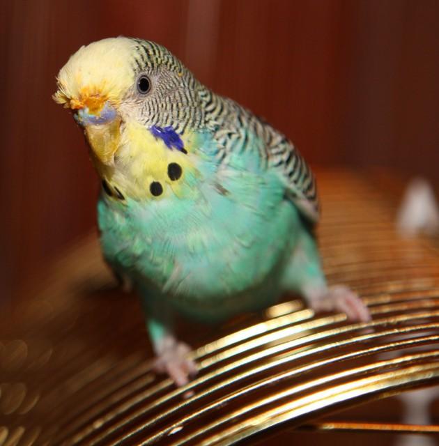 У попугая что то оранжевое над роговицей? - IMG_6265.jpg