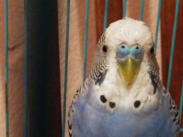 Линька у попугая. - IMG_20150103_073919[1].jpg