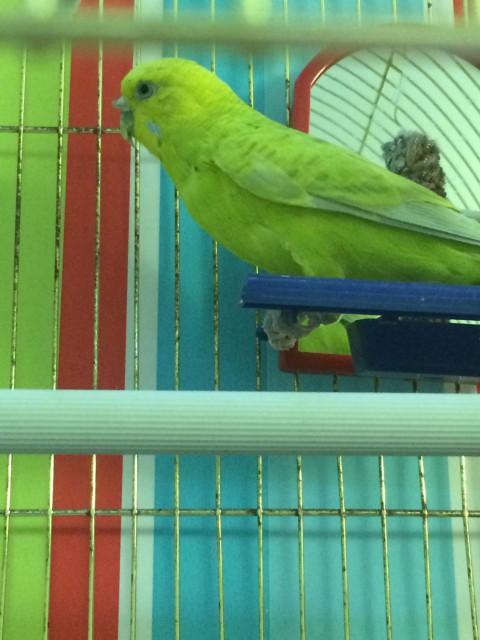 Гиперкератоз у попугая - IMG_8453.JPG