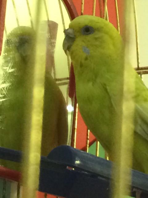 Гиперкератоз у попугая - IMG_8455.JPG