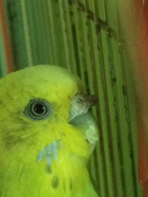 Гиперкератоз у попугая - IMG_8457.JPG