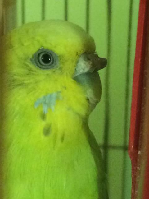 Гиперкератоз у попугая - IMG_8458.JPG