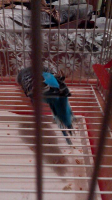 У попугая что-то с Хвостом,и лапкой. - IMG_20150127_204445.jpg