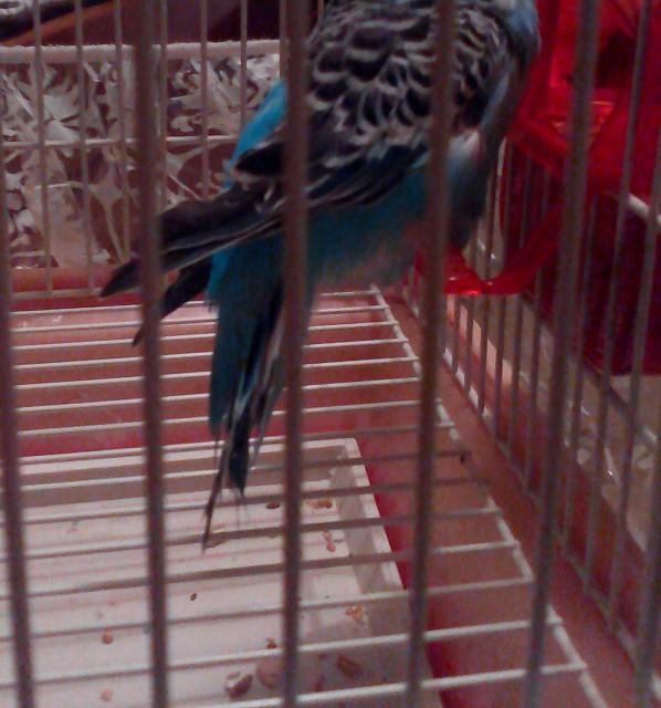 У попугая что-то с Хвостом,и лапкой. - IMG_20150127_205416.jpg