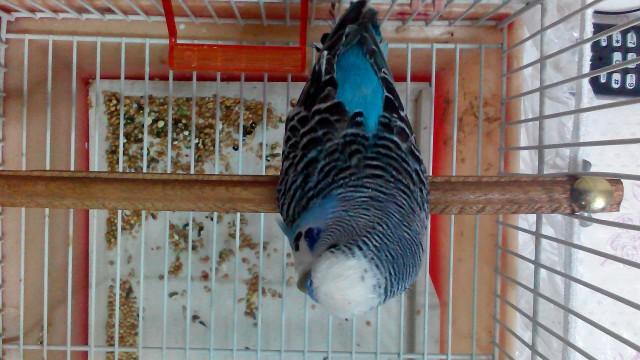 У попугая что-то с Хвостом,и лапкой. - IMG_20150130_142955.jpg