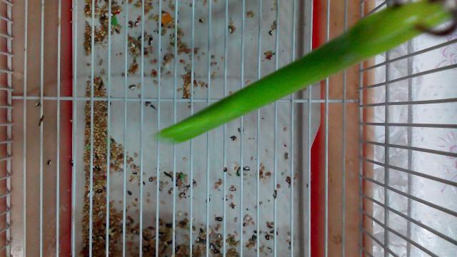 У попугая что-то с Хвостом,и лапкой. - IMG_20150130_143003.jpg