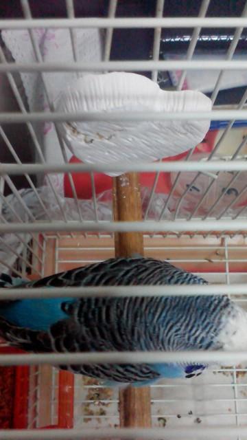 У попугая что-то с Хвостом,и лапкой. - IMG_20150130_152330.jpg