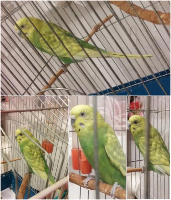 Отдам в добрые руки самку волнистого попугайчика. Саратов - ШУША.jpg