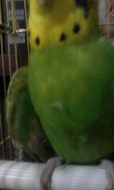 Попугай повредил крыло - IMG_6879.JPG