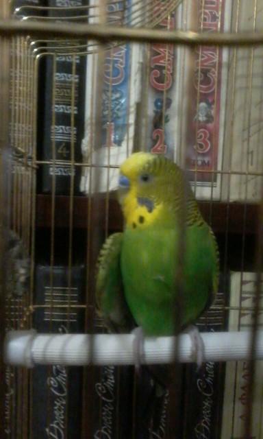 Попугай повредил крыло - IMG_6882.JPG