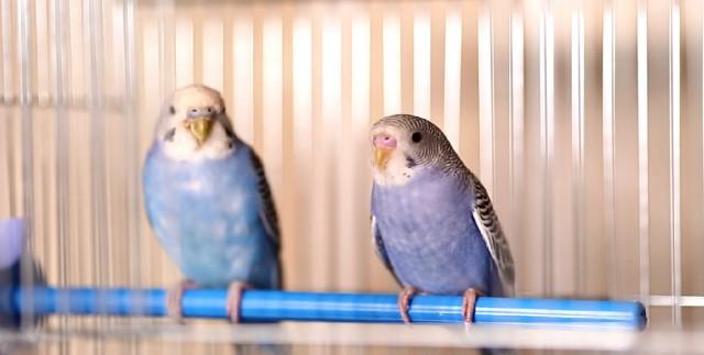 Определение пола и возраста попугаев № 8 - попугаи.jpg