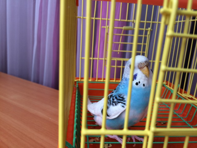 Определение пола и возраста попугаев № 8 - image-11-03-15-10%3A57.jpeg