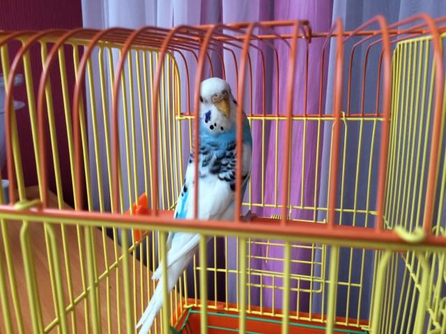 Определение пола и возраста попугаев № 8 - image-11-03-15-10%3A57-1.jpeg
