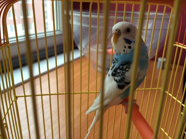 Определение пола и возраста попугаев № 8 - image-11-03-15-10%3A57-4.jpeg