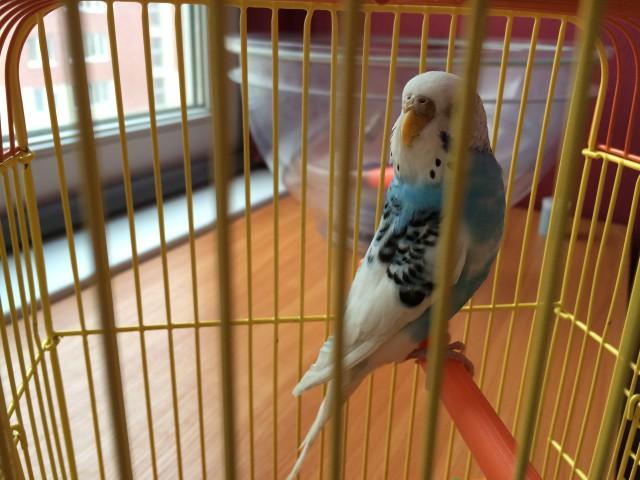 Определение пола и возраста попугаев № 8 - image-11-03-15-10%3A57-5.jpeg