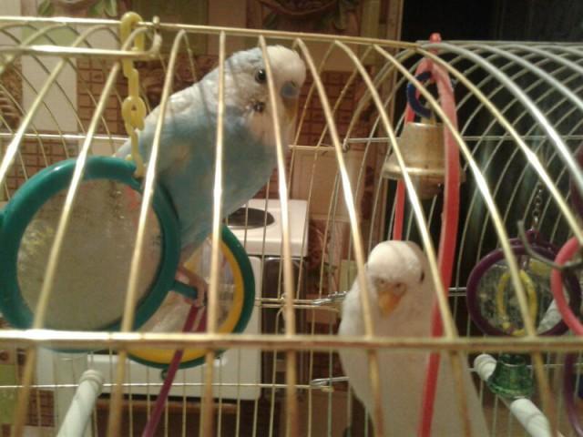 Определение пола и возраста попугаев № 8 - UC_Photo_012.jpg