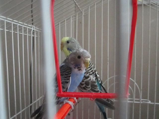 Определение пола и возраста попугаев № 8 - IMG_2882.JPG