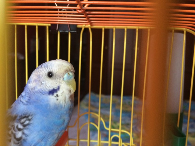 Определение пола и возраста попугаев № 8 - image.jpg